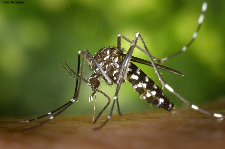 tiger mosquito 49141 1920